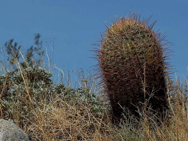 baril, cactus, cactus, anza, borrego, deşert, cactus, cactusi