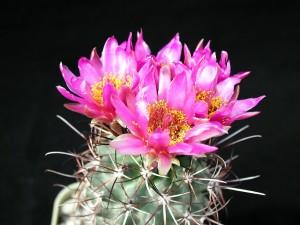 beau, cactus, fleurs