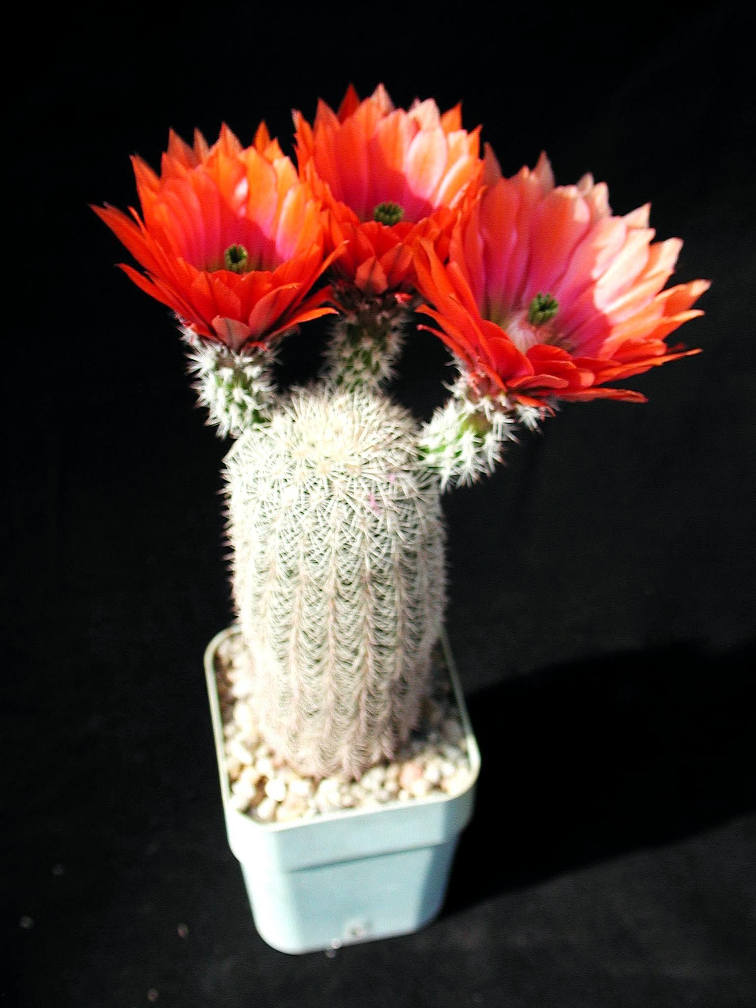 Free Picture Beautiful Cactus