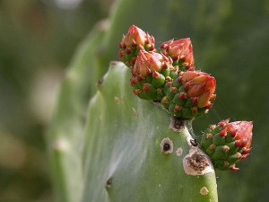 beavertail, cactus, wild, animal, park, San Diego
