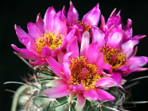 большой, кактусы, цветы