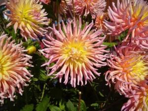 big, pink, garden, flowers