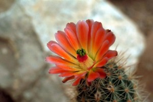 bright red, cactus, flower