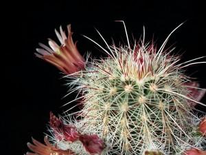 cactaceae, cactus, spine, da vicino, fiore