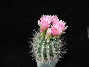 Cactaceae, fleurs