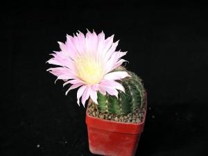 cactaceae, flowerpot