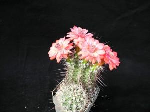 cactaceae, studio