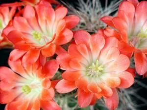 cactaceae, plante