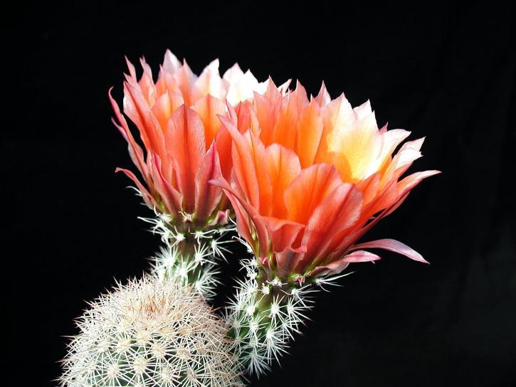 cactus, fleurs