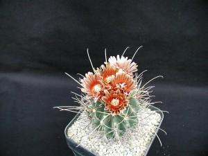 cactus, l'image