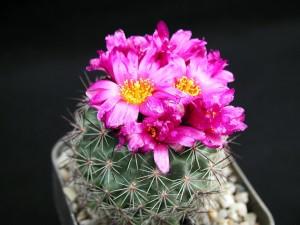 kaktusy, czerwone kwiaty
