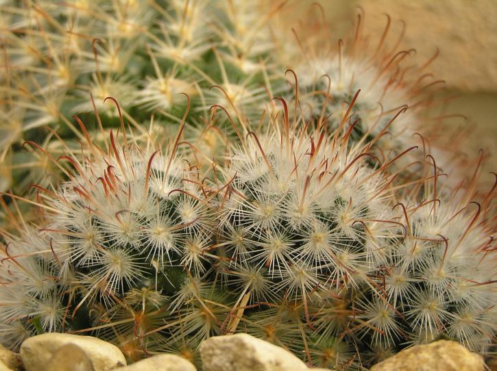 cactii, cultivé, des semences