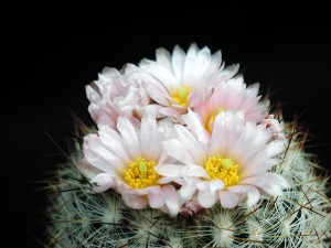 kaktus kolczasty