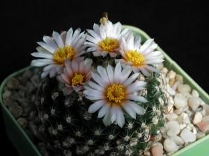 Kaktus, piękny