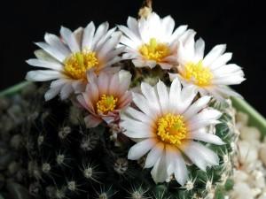 cactus, fiore, flora, le spine di fiori