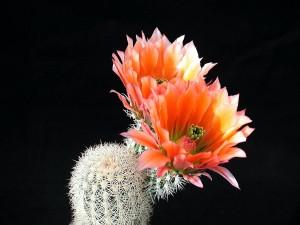cactus, cactus, fiori, petali rossastre, pianta del deserto