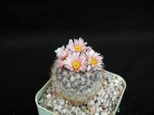 cactus, cactus, fiori, sfondo scuro, fiore, vaso