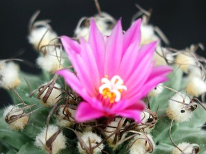 cactus, flower, bloom