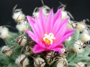 κάκτος, λουλούδια, άνθιση