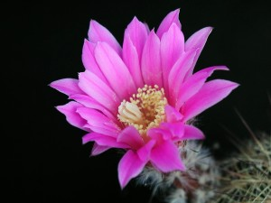 cactus, flower, blooming