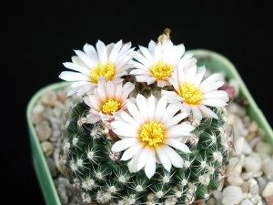 cactus, flower, image