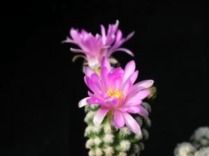 cactus, flores, rosa