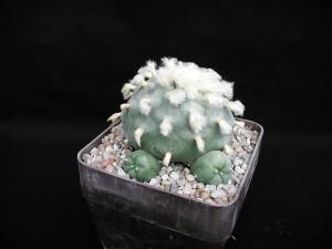 cactus, flowers, blooming