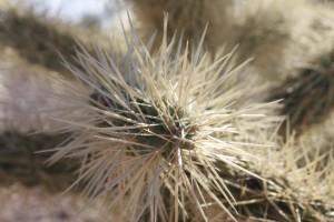 Kaktus, skupienie, kolce