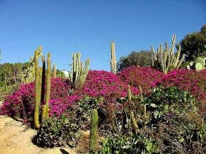 Cactus, kukat, autiomaa, Puutarha