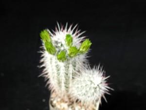kaktus, grön