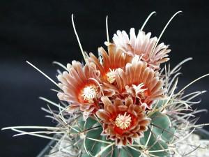 cactus, sombre