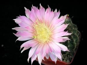 Cactus, bloempot