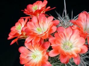 kaktus, trädgård