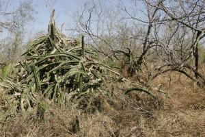 cactus, savanna