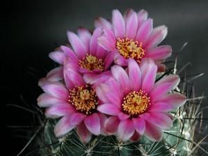 kaktus, nektar, cvjetne