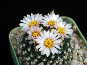 kaktus, obrázek, žlutý květ nektar, bílé okvětní plátky