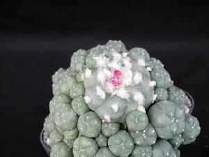 cactus, plante, almoust, la floraison