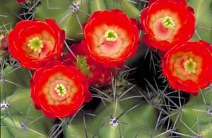 kaktus, červené květy, červené květy, zblízka, trny