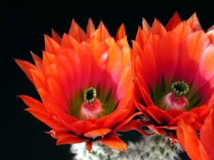 cactus, red, petals