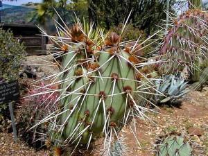 cactus, spines, thorns, cacti