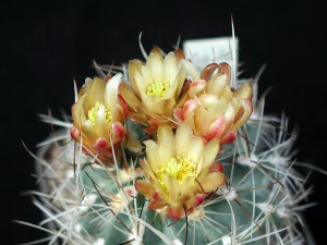 cactus, thorns, flower