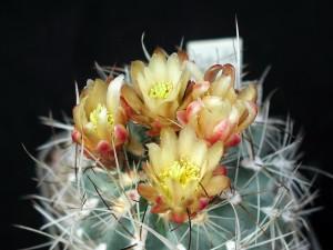cactus, spine, fiore
