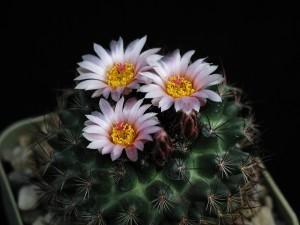 cactus, spine, fioritura