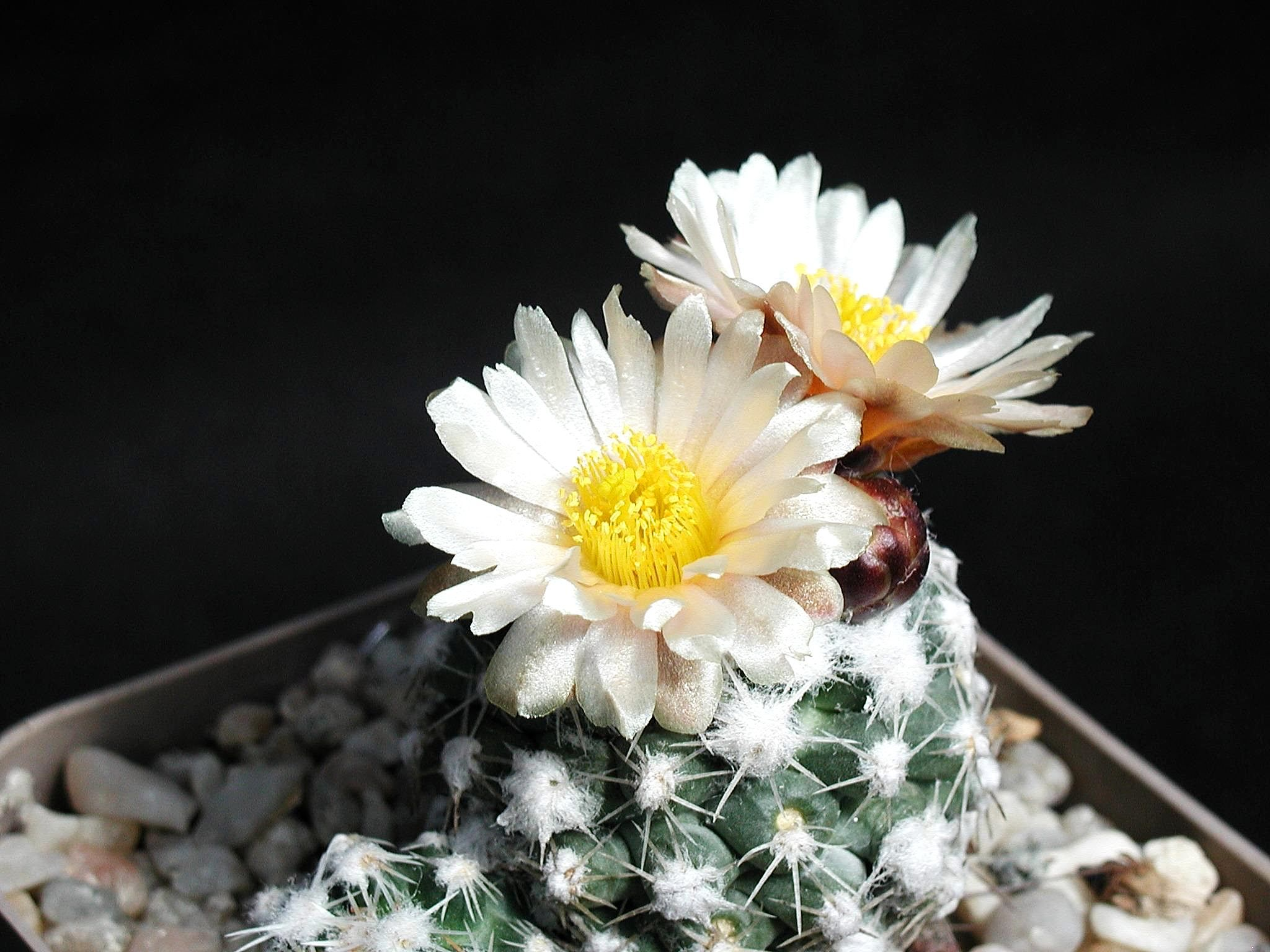 Free Picture Cactus White Light Yellow Flower