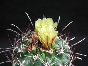 cactus, black, background