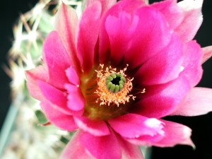 kaktüs, nektar