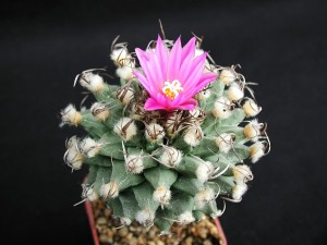 cactus, one, flower