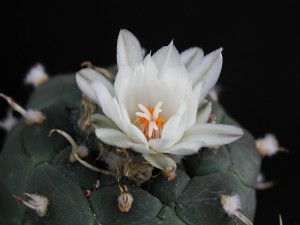 cactus, one, white flower