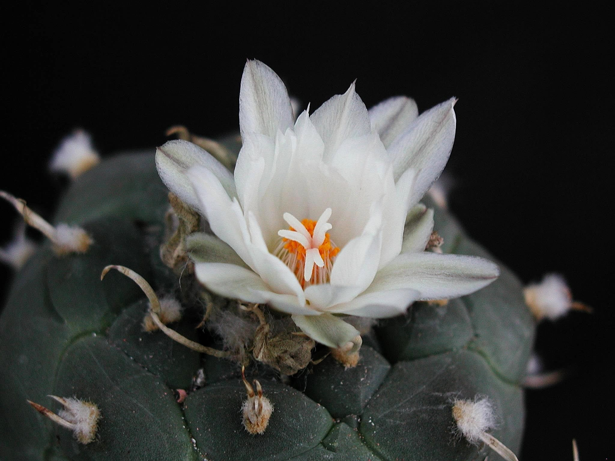 Free Picture Cactus One White Flower