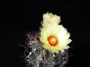 cactus, yelloow, flores